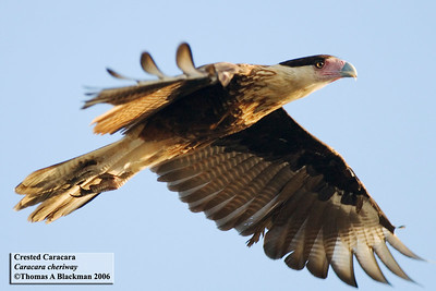 Crested Caracara seen in San Ysidro (factory outlet center) between 6:45am and 8:30.  Being chased and chasing Am Crows, moving from lightpole to lightpole.