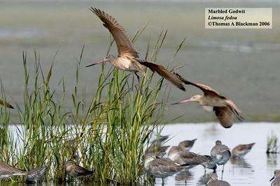 Marbled Godwit Robb Field
