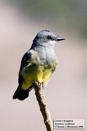 Cassin's Kingbird San Elijo