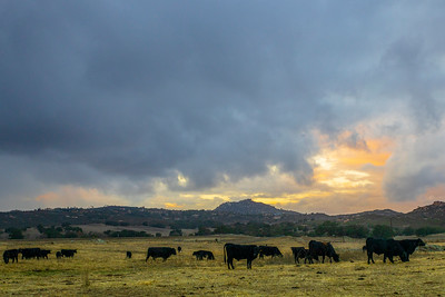 � Cows Before the Storm �