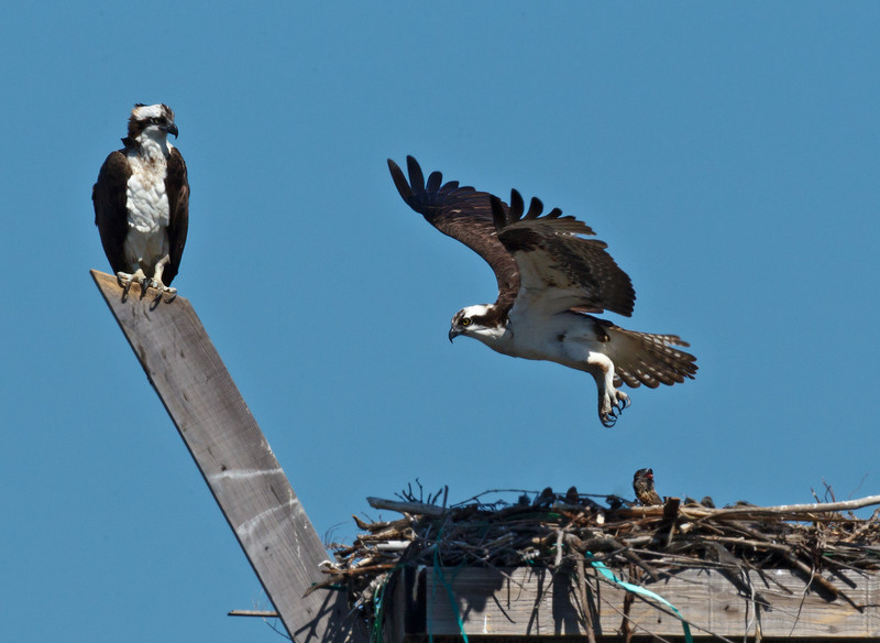 Osprey Nest<br /> Pepper Park, National City