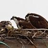 Osprey Nest 3/17/2011 <br /> Pepper Park, National City