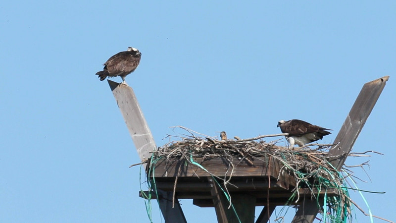 Osprey Nest 3/2/2011 <br /> Pepper Park, National City