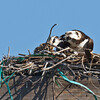 Osprey Nest 3/10/2011 <br /> Pepper Park, National City