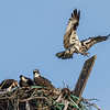 OSPREY NEST<br /> National City's Pepper Park