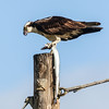 OSPREY<br /> male with a fish for the nest.<br /> Chula Vista Bayfront