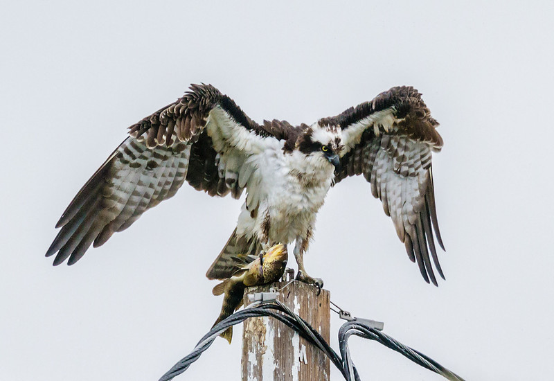 OSPREY NEST<br /> male with a Spotted Bay Bass for breakfast.<br /> National City's Pepper Park