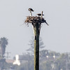 OSPREY NEST<br /> looks like 2 chicks in the nest<br /> Chula Vista Wildlife Reserve, San Diego Bay.