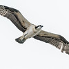 OSPREY NEST<br /> Juvenile practicing it's flying ability.<br /> National City's Pepper Park
