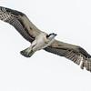 OSPREY NEST<br /> Juvenile practicing it's flying ability.<br /> National City's Pepper Park
