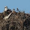 140414-Osprey Nest-006