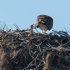 140403-Osprey Nest-001