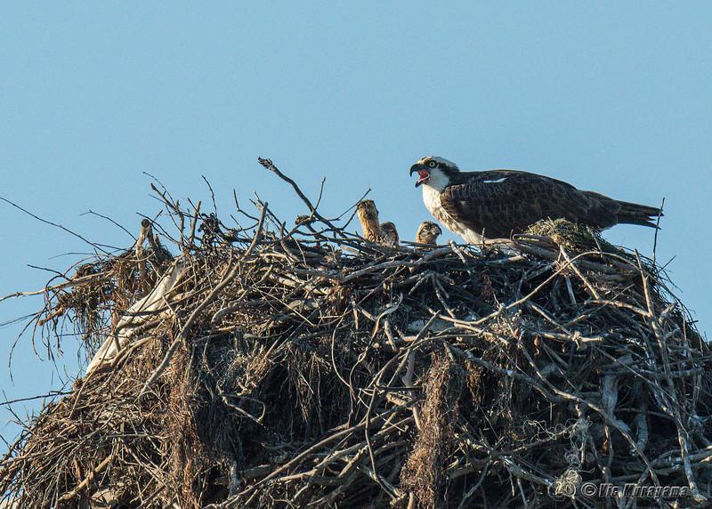 140407-Osprey Nest-003