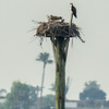 140404-Osprey Nest-001