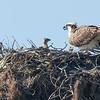 140403-Osprey Nest-007
