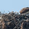 140403-Osprey Nest-006