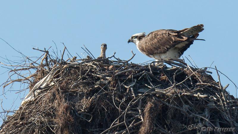 140403-Osprey Nest-002