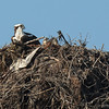 140414-Osprey Nest-004