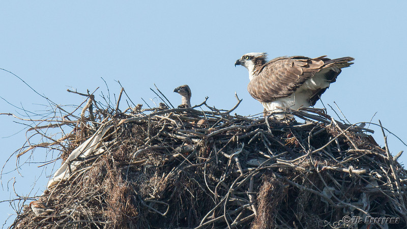 140403-Osprey Nest-005