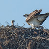 140403-Osprey Nest-003