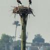 140404-Osprey Nest-003