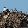 140414-Osprey Nest-002