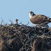 140403-Osprey Nest-004