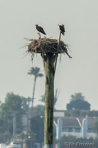 140404-Osprey Nest-002