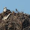 140414-Osprey Nest-001