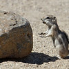 White-tailed Antelope Squirrel<br /> Palm Canyon Campground