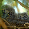 Long-eared Owlets<br /> Tamarisk Grove Campground