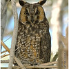 Long-eared Owl<br /> Tamarisk Grove Campground