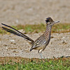 Greater Roadrunner<br /> Borrego Springs sewage pond