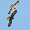 Light and Dark Swainson's Hawk comparisons.<br /> Over Di Giorgio Rd s/o Henderson Cyn Rd, Borrego Springs
