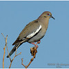 White-winged Dove<br /> Borrego sewage pond area
