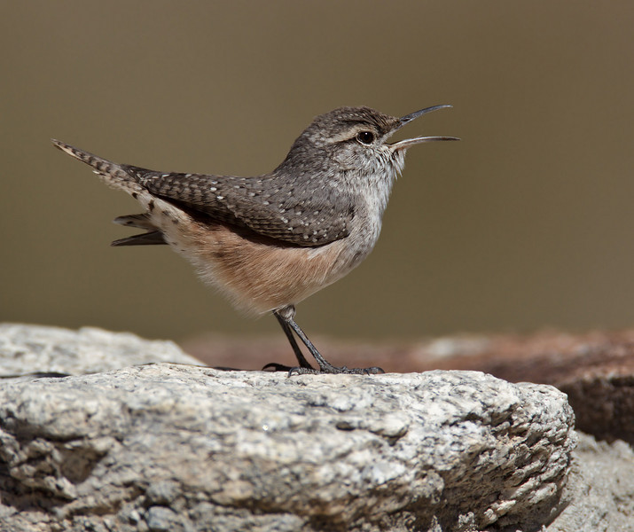Rock Wren<br /> Palm Canyon Campground