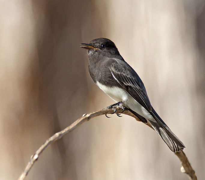 Black Phoebe<br /> Palm Canyon Campground
