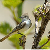 Ash-throated Flycatcher<br /> Yacqui Well area