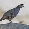 California Quail, female<br /> Palm Canyon Campground