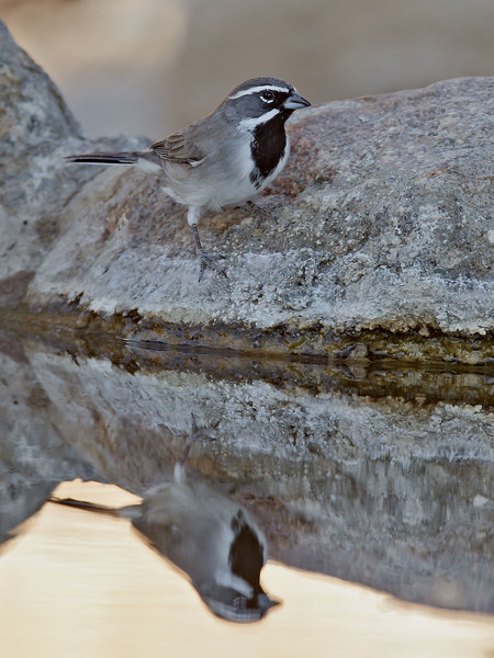 Black-throated Sparrow<br /> Palm Canyon Campground