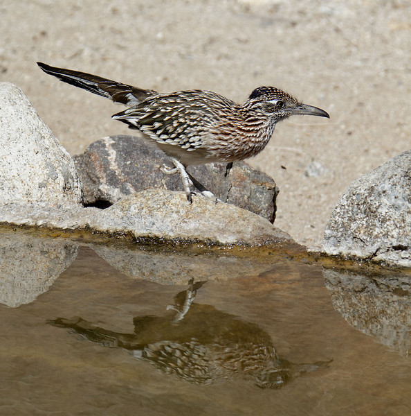 Greater Roadrunner<br /> Palm Canyon Campground