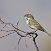 Sage Sparrow<br /> Borrego Springs sewage pond