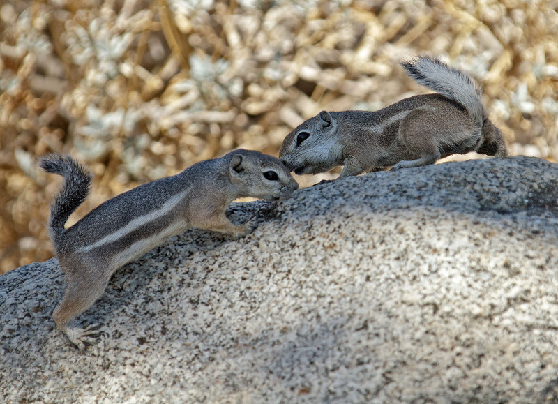 White-tailed Antelope Squirrels<br /> Palm Canyon Campground