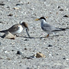 Least Tern chick being fed by adult<br /> Least Tern Preserve