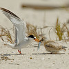 Least Tern chick feeding<br /> Least Tern Preserve