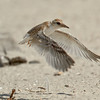 Least Tern chick flight practice<br /> Least Tern Preserve