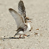 Least Tern chick<br /> Least Tern Preserve