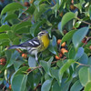 Blackburnian Warbler<br /> 11/24/2009 Mission Bay