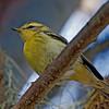 BLACKBURNIAN WARBLER<br /> <br /> Bird & Butterfly Garden - 10/14/2011