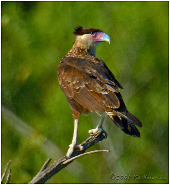 CRESTED CARACARA<br /> Roosting at the Dairy Mart Pond.